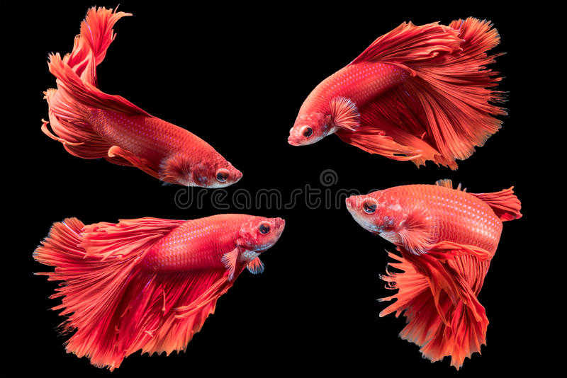 Red siamese fighting fish, betta splendens isolated stock photos