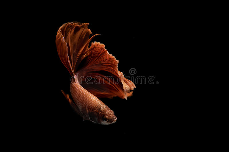 Red Siamese fighting fish on black background stock photography