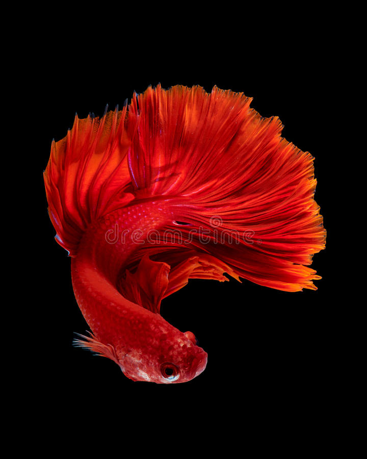Red siamese fighting fish stock photos