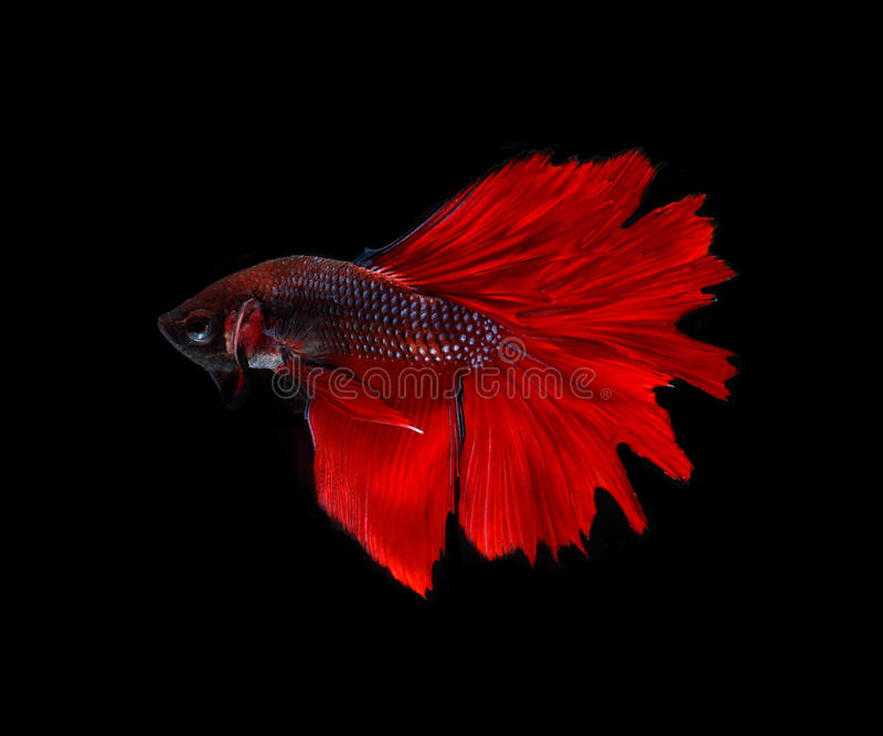 Dark red betta fish - photo#42