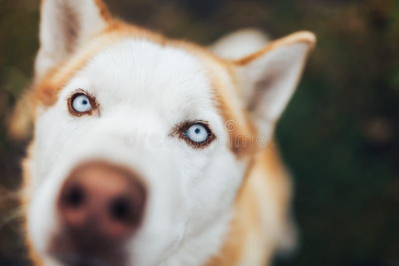 Red Siberian Husky Dog Snout - Stäng nosmakrot royaltyfria foton