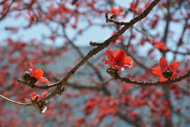 Red Silk Cotton Tree close up. Red Silk Cotton Tree flowers in Hong Kong, Shek Kong royalty free stock images