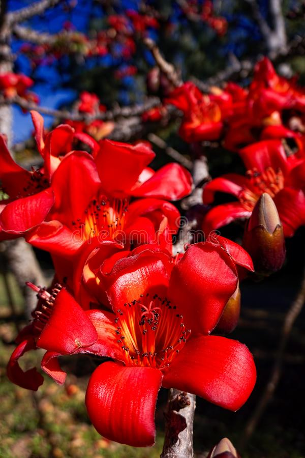 Red silk cotton tree in flower royalty free stock images