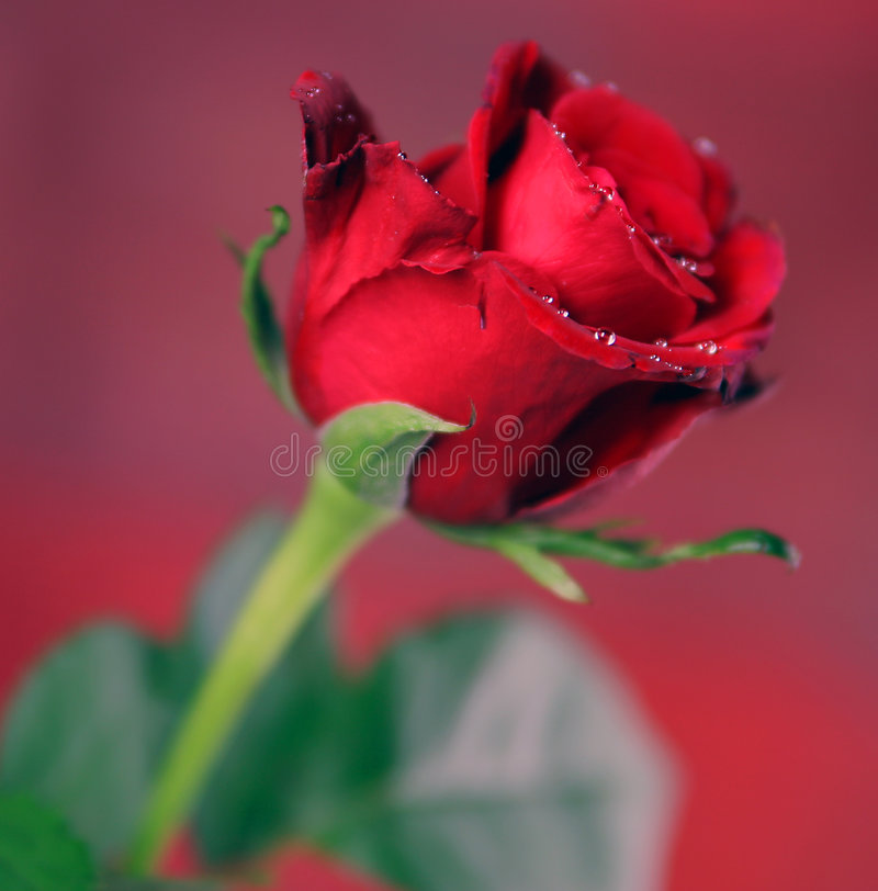 Download Red Single Rose stock image. Image of nature, flowers - 1673875