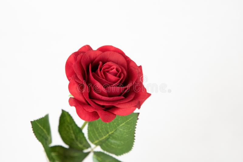 Red and single rose royalty free stock photos