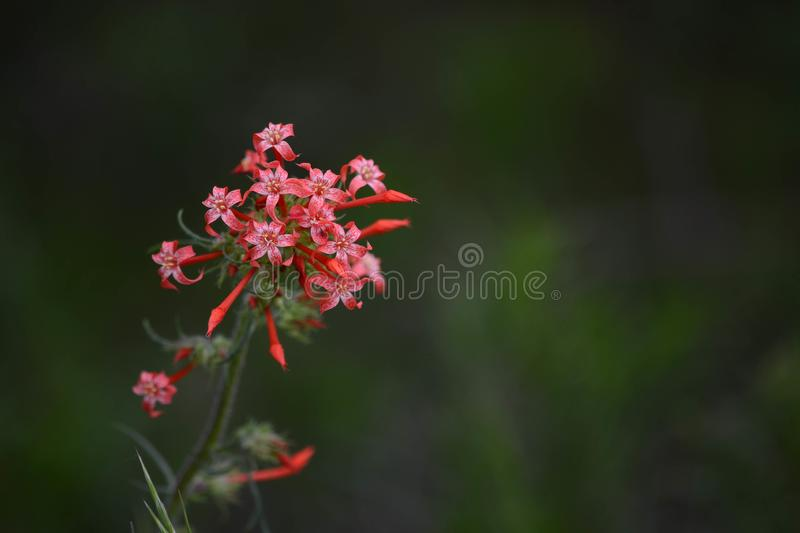 Red Skyrocket flower Scarlet Gilia Ipomopsis aggregata. A single stalk of a red Skyrocket flower, Scarlet Gilia, Ipomopsis aggregata at the Picaroon River basin stock photos