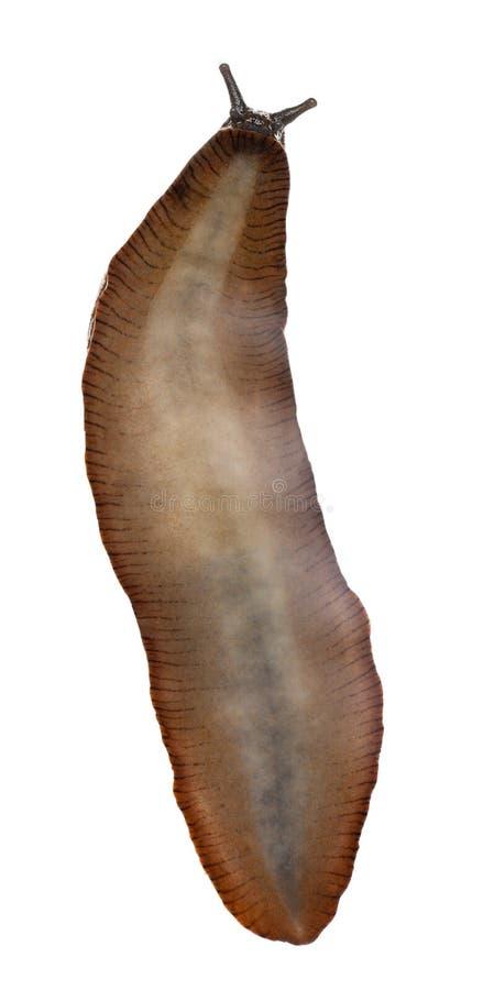 Download Red Slug, Arion Rufus Royalty Free Stock Image - Image: 16713666