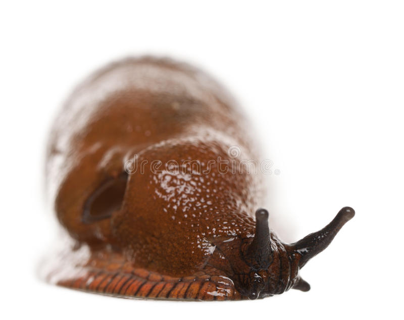 Red Slug, Arion Rufus Stock Images