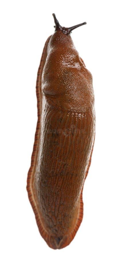 Red Slug, Arion Rufus Royalty Free Stock Photo