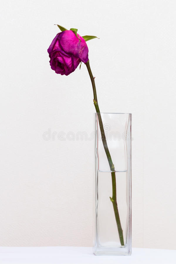 Red sluggish rose. In a glass vase with water stock photo