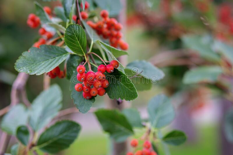 Red small berries such as viburnum or hawthorn on a tree branch close up, blurred background from the back royalty free stock photography