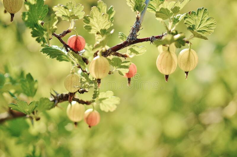 Red Small Fruit on the Tree Branches and Leaves during Daytime stock photography