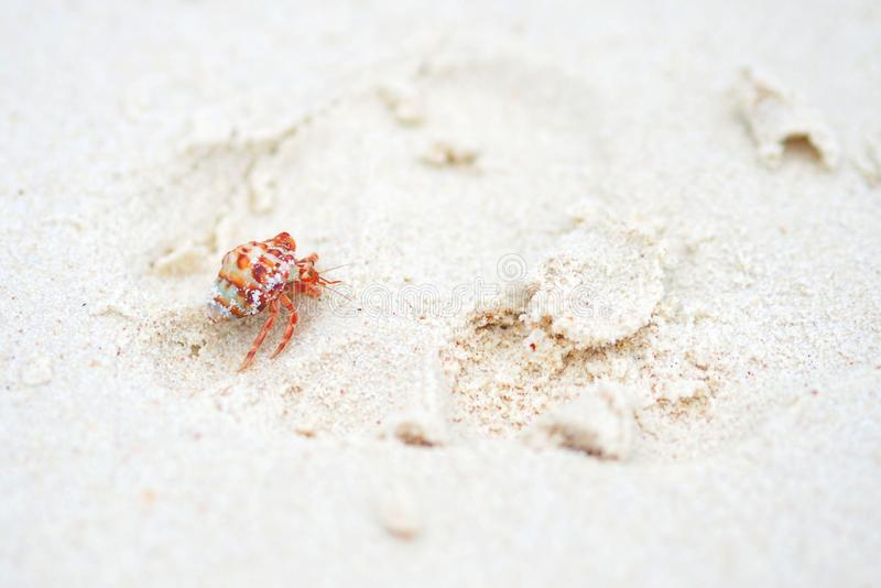Red Small Hermit crab stock images