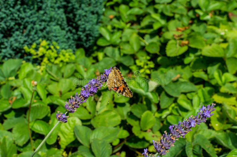 Red Small Tortoiseshell butterfly feasting on violet lavender.  royalty free stock image