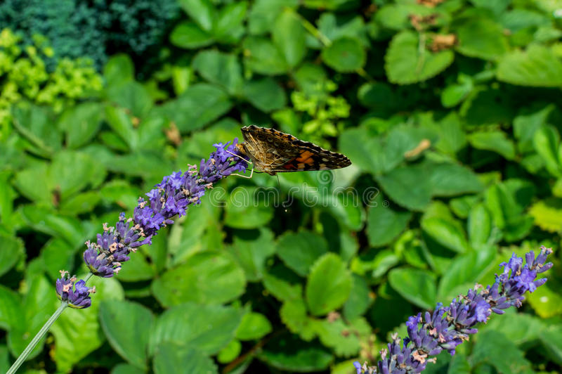 Red Small Tortoiseshell butterfly feasting on violet lavender.  stock photos
