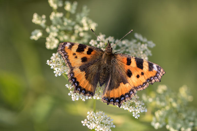 Download Red Small Tortoiseshell Butterfly On White Flower Stock Photo - Image of beautiful, small: 58739480