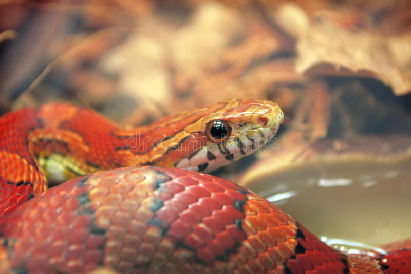 Red snake royalty free stock image