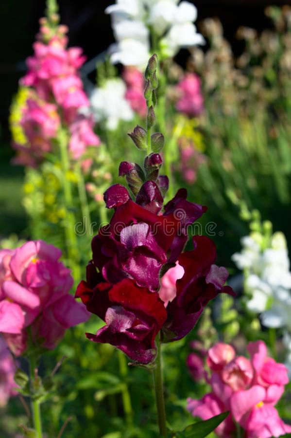 Red snapdragon garden flower stock photography