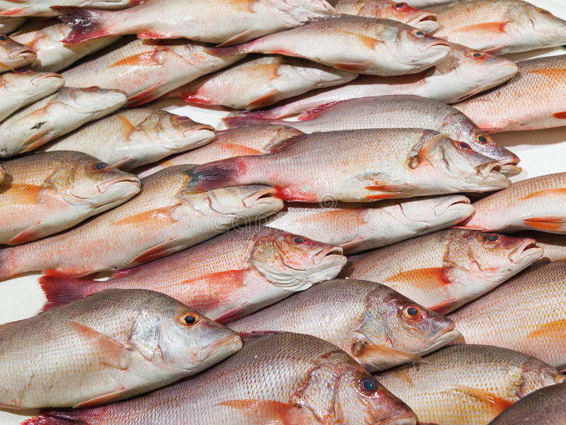 Download Red snapper fish stock photo. Image of marine, closeup - 22359418