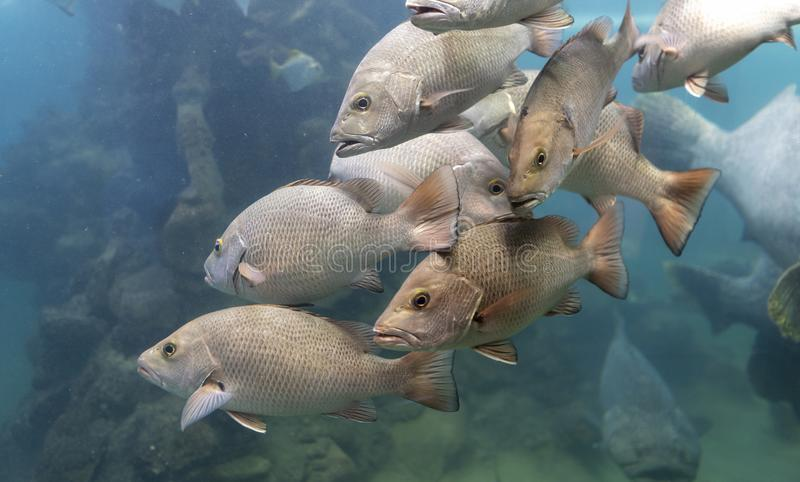 Red Snapper fish school in the tropical sea stock photo