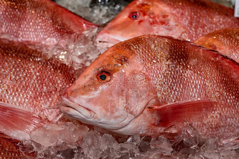 Red snapper on ice royalty free stock image