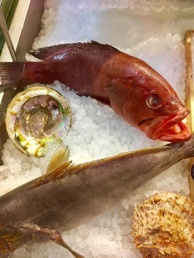 Red Snapper on Ice. This red Snapper is posed on Ice with an abalone shell and the fish appears as if it is smiling stock photo