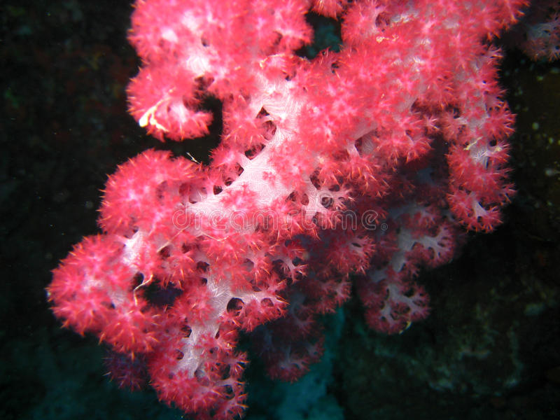 Download Red soft coral polyps stock photo. Image of vibrant, tropical - 17391030