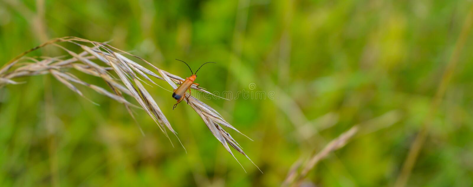 Red soldier beetle. A red soldier beetle dangling on a long grass in the meadows stock photo