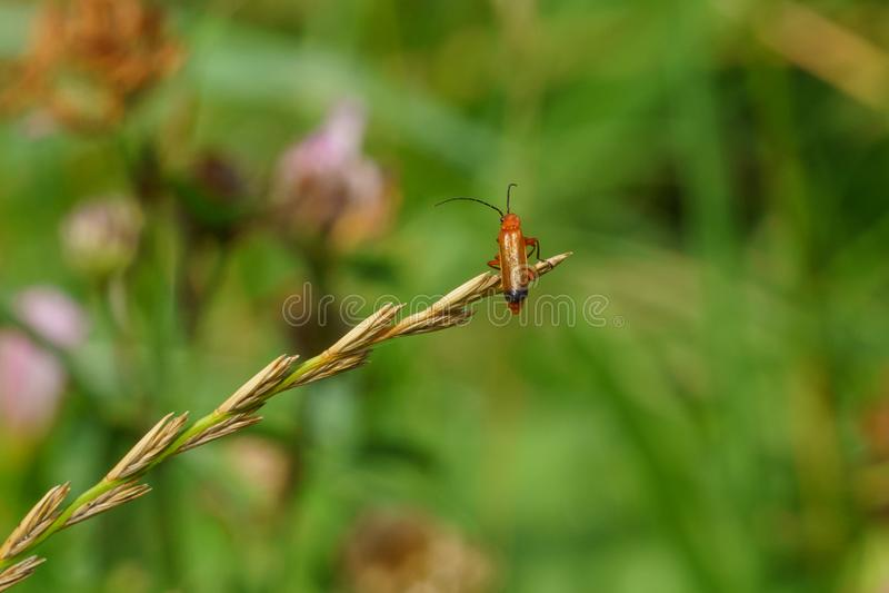 Red Soldier Beetle (Rhagonycha fulva royalty free stock photos
