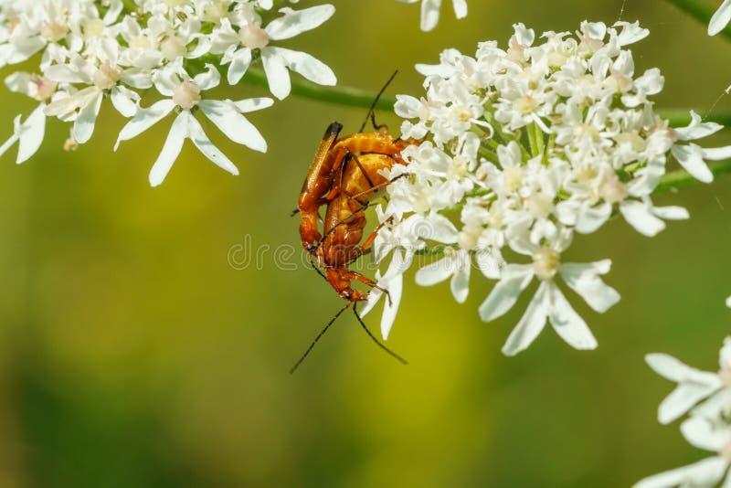 Red Soldier Beetle (Rhagonycha fulva royalty free stock images