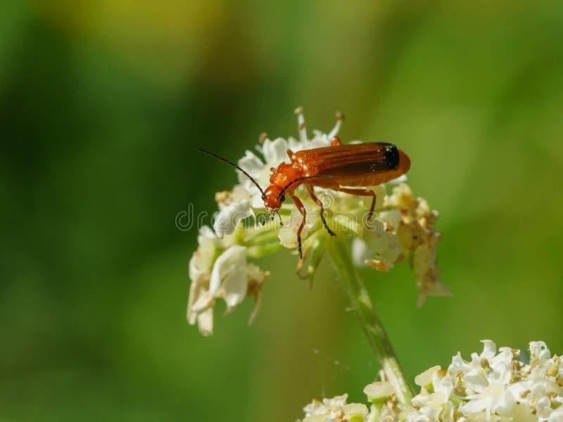 Red Soldier Beetle (Rhagonycha fulva royalty free stock image