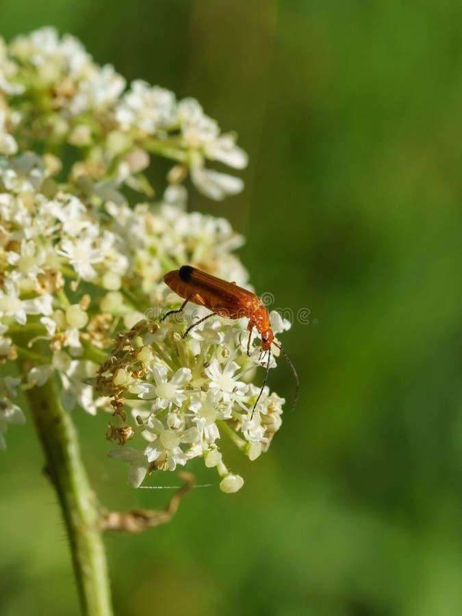 Red Soldier Beetle (Rhagonycha fulva stock image