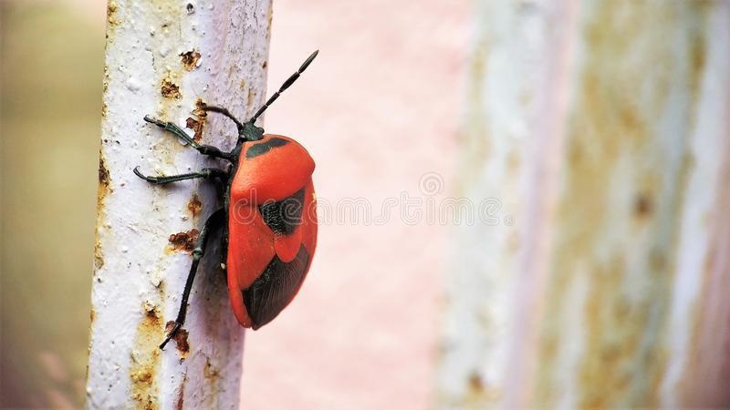 Red soldier bug sitting on a Iron rod corner view stock photography