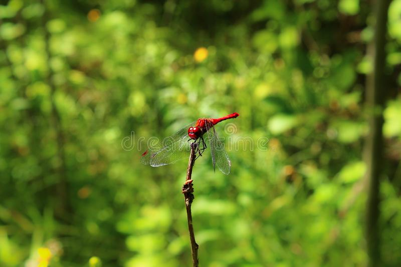 Red Space Dragonfly on a branch in the forest. royalty free stock image