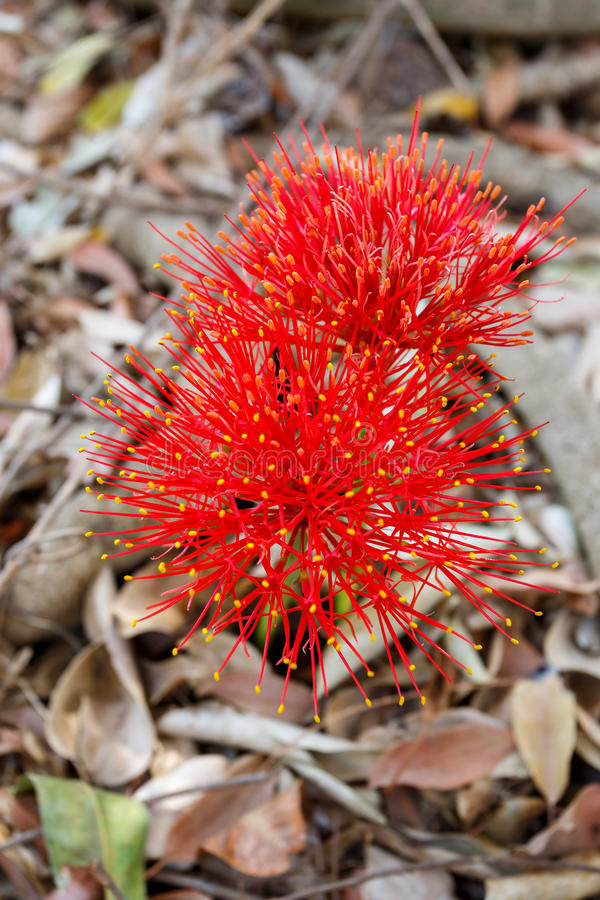 Red sphere flower(fireball lily)in Victoria Falls. Red sphere Scadoxus multiflorus - flower(fireball lily)in Victoria Falls, Zimbabwe royalty free stock image