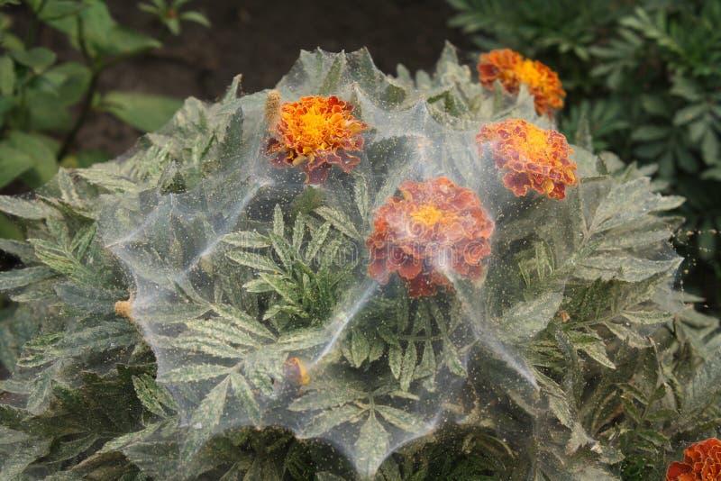 Red spider on marigold flower stock photo