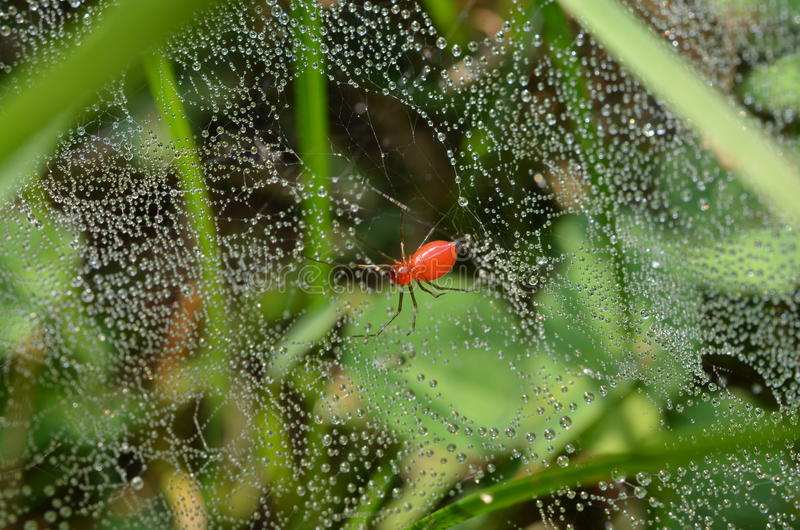 Red spider, web in grass, glistening in early morning dew drops stock photo