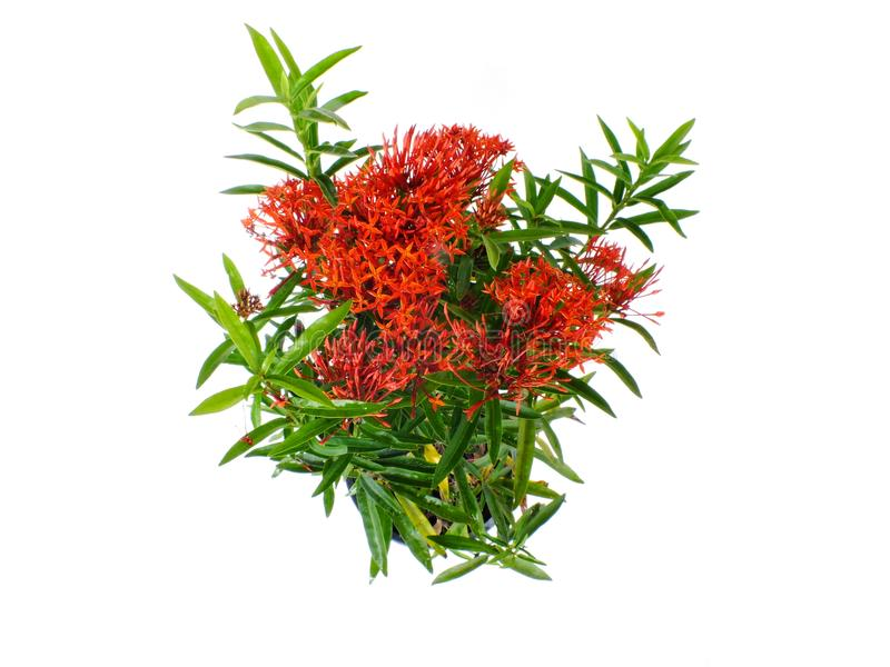 Red Spike flower rubiaceae flower on white background. Spike flower rubiaceae flower plant on white background stock photo