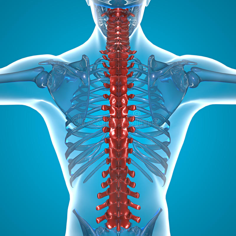 Download Red Spine x-ray skeleton stock illustration. Image of spine - 32916457