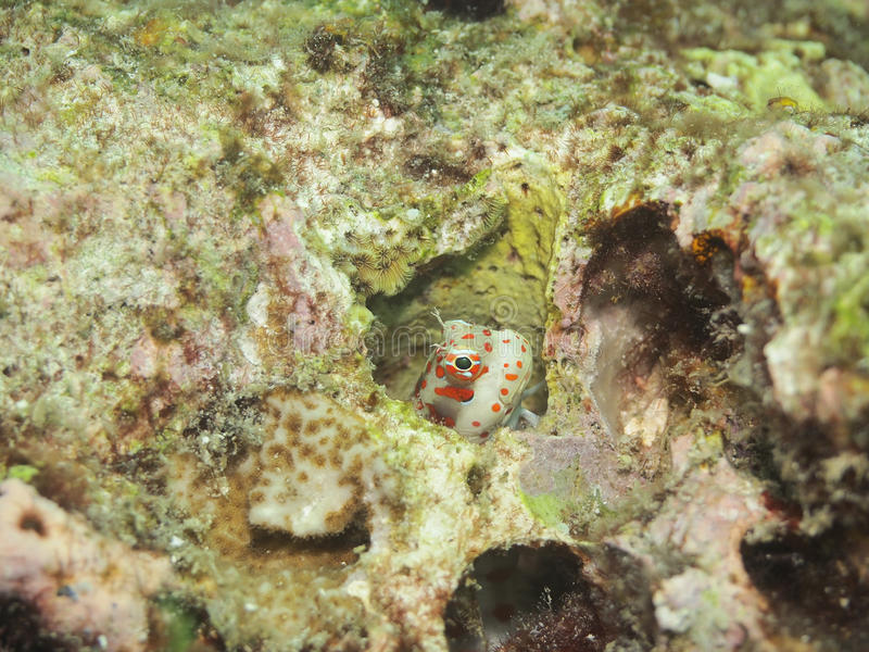 Download Red-spotted blenny stock photo. Image of eagle, colorful - 20371742