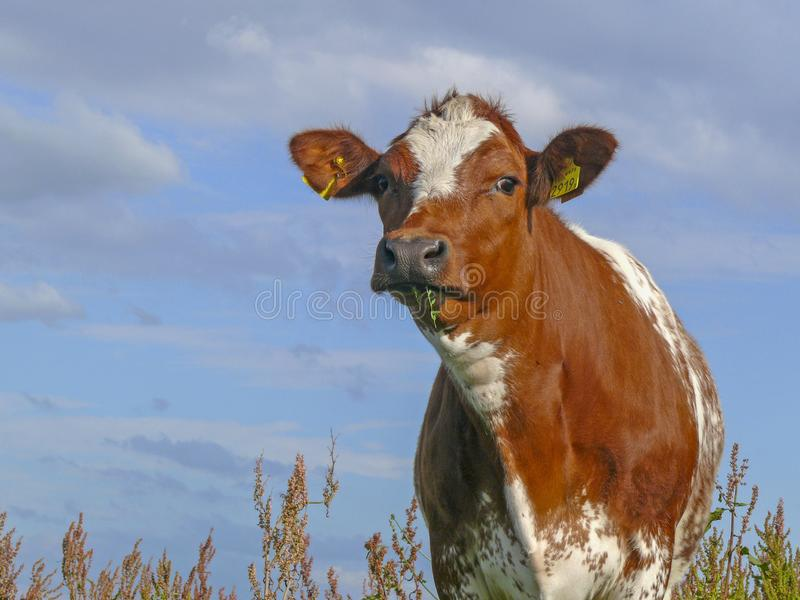 Red-spotted cow with blades of grass in her mouth stands among the flowering wild sorrel. royalty free stock photos
