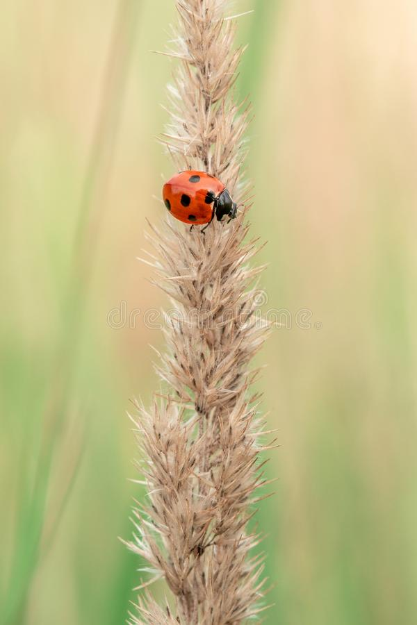 Ladybird sitting on the dry plant royalty free stock photography