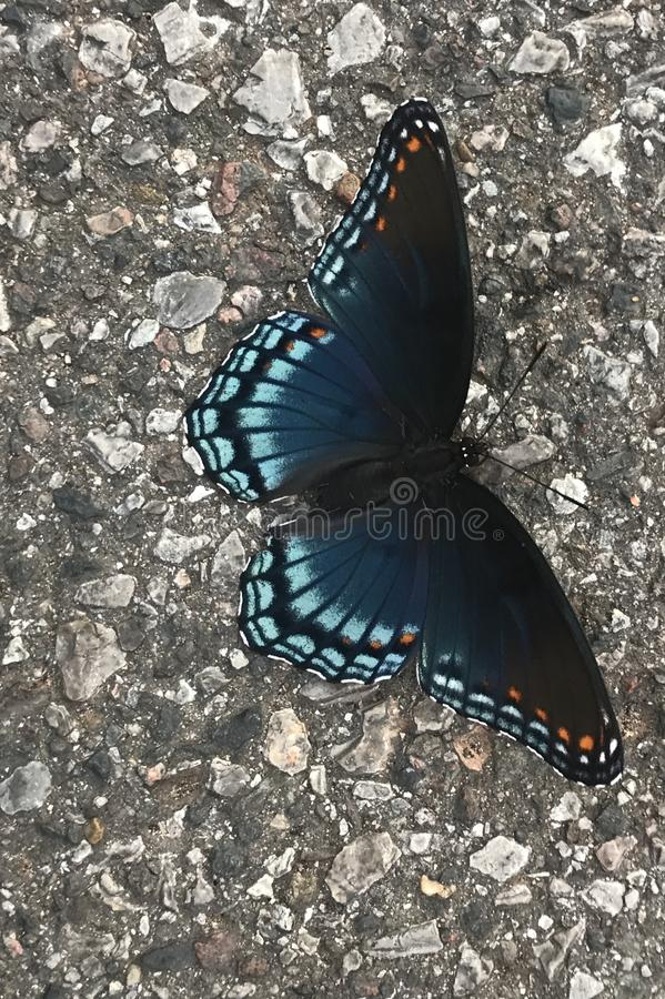 Red Spotted Purple Butterfly. The adult red purple spotted is thought to be a mimic of the distasteful Pipe Vine Swallowtail. They are often seen visiting royalty free stock photo