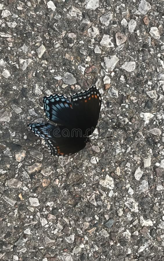 Red Spotted Purple Butterfly. The adult red purple spotted is thought to be a mimic of the distasteful Pipe Vine Swallowtail. They are often seen visiting stock photos