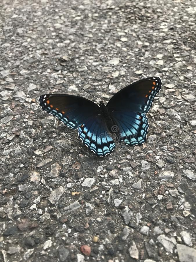 Red Spotted Purple Butterfly. The adult red purple spotted is thought to be a mimic of the distasteful Pipe Vine Swallowtail. They are often seen visiting stock photography