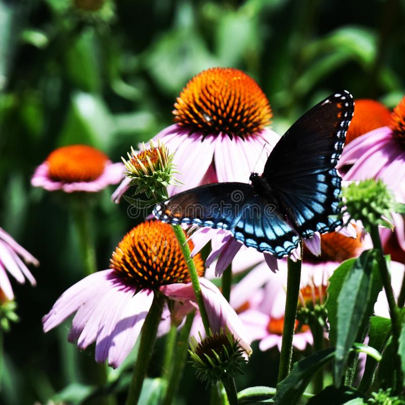 Red Spotted Purple Butterfly on Purple Coneflowers stock image