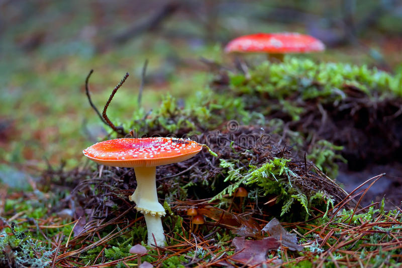 Red spotted toadstool in the forest