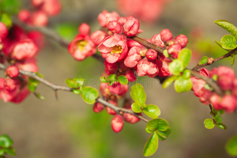 Red spring flowers royalty free stock photography