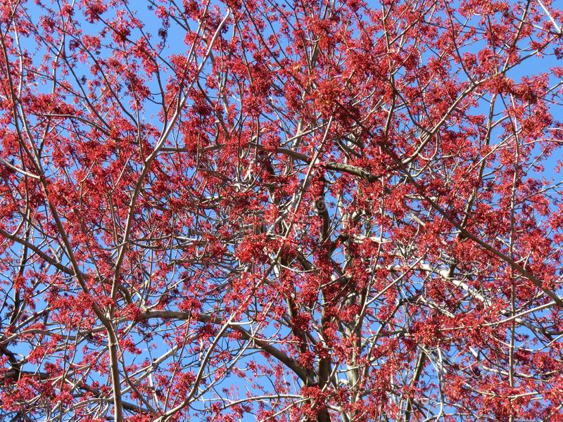 Red Spring Tree Blossoms of Late March stock photography