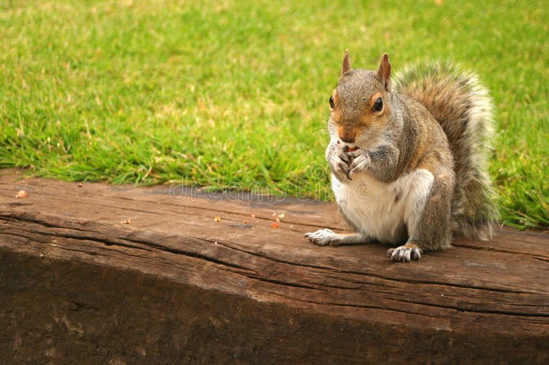 Download Red Squirrel stock image. Image of harvest, cute, cutie, bushy - 9905